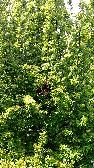Swarm - on Plum Tree