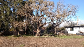 Felling an old oak tree, with two colonies
