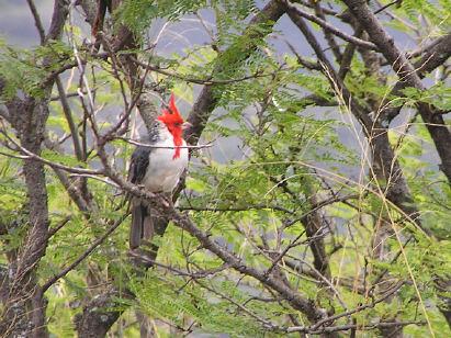 Brazilian Red Cap Cardinal